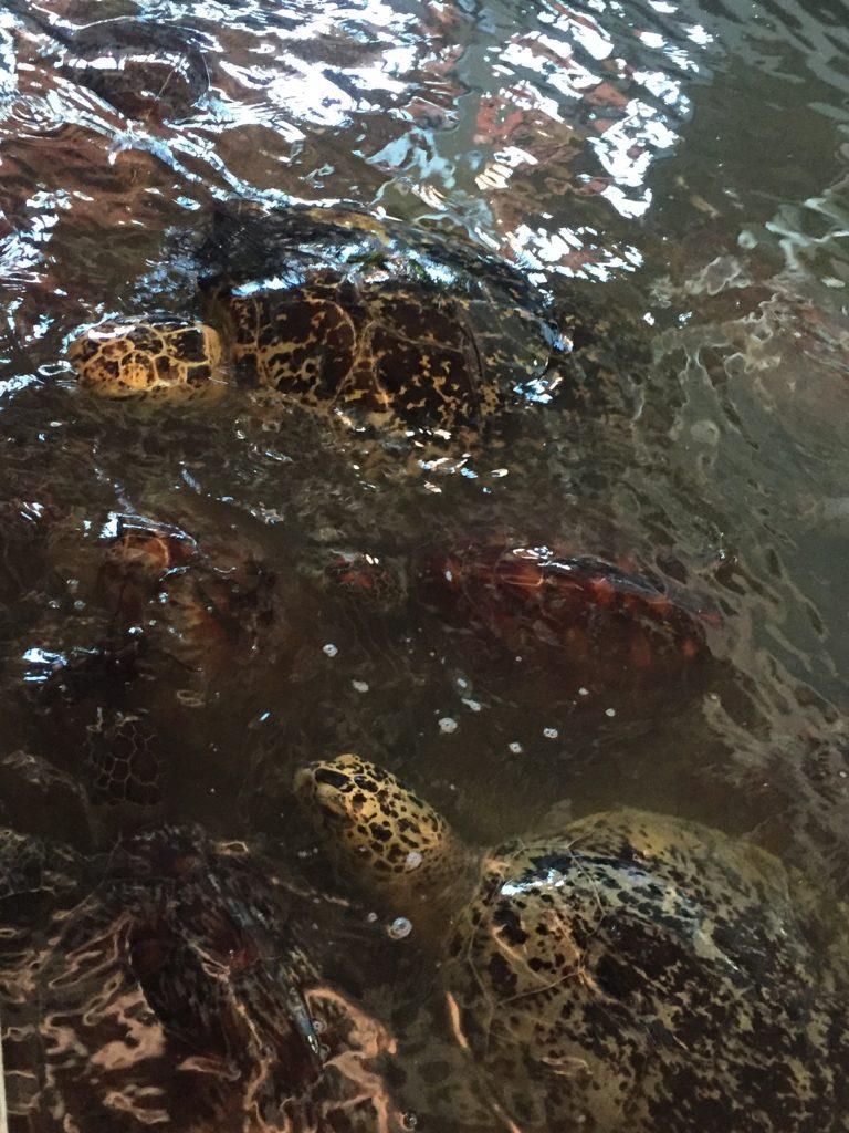 turtles at water surface